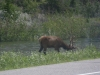 Elk on the brink of the road.
