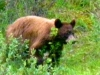 First meeting with a grisly bear. This occur close to our cabins.
