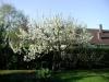 Blommande plommonträd Klockspelsvägen Staffanstorp