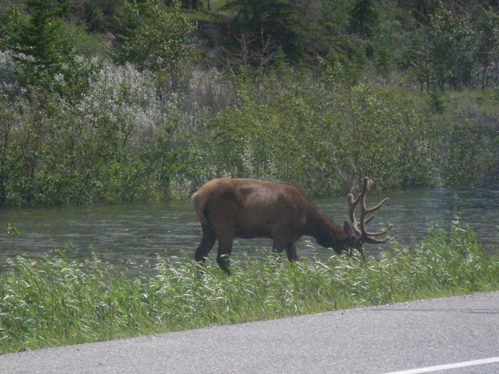 Elk on the brink of the road.