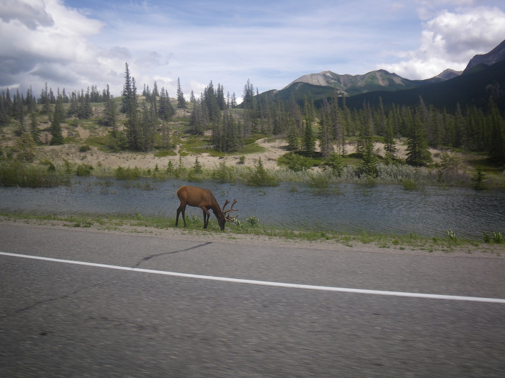 The elks seem to be in harmony close tho the road.