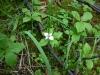 Canadian Dwarf Cornel, Canadian Bunchberry, Quatre-temps, or Crackerberry. Lat: Cornus canadensis