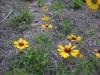 Black-Eyed Susan (Rudbecka hirta (Asteraceae)) in Maligne Canyon