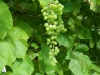 Våra goda gröna druvor