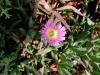 Denna blomma fanns i stort antal längs vägen